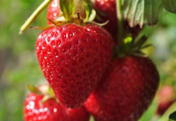 strawberryday 350x240thumb