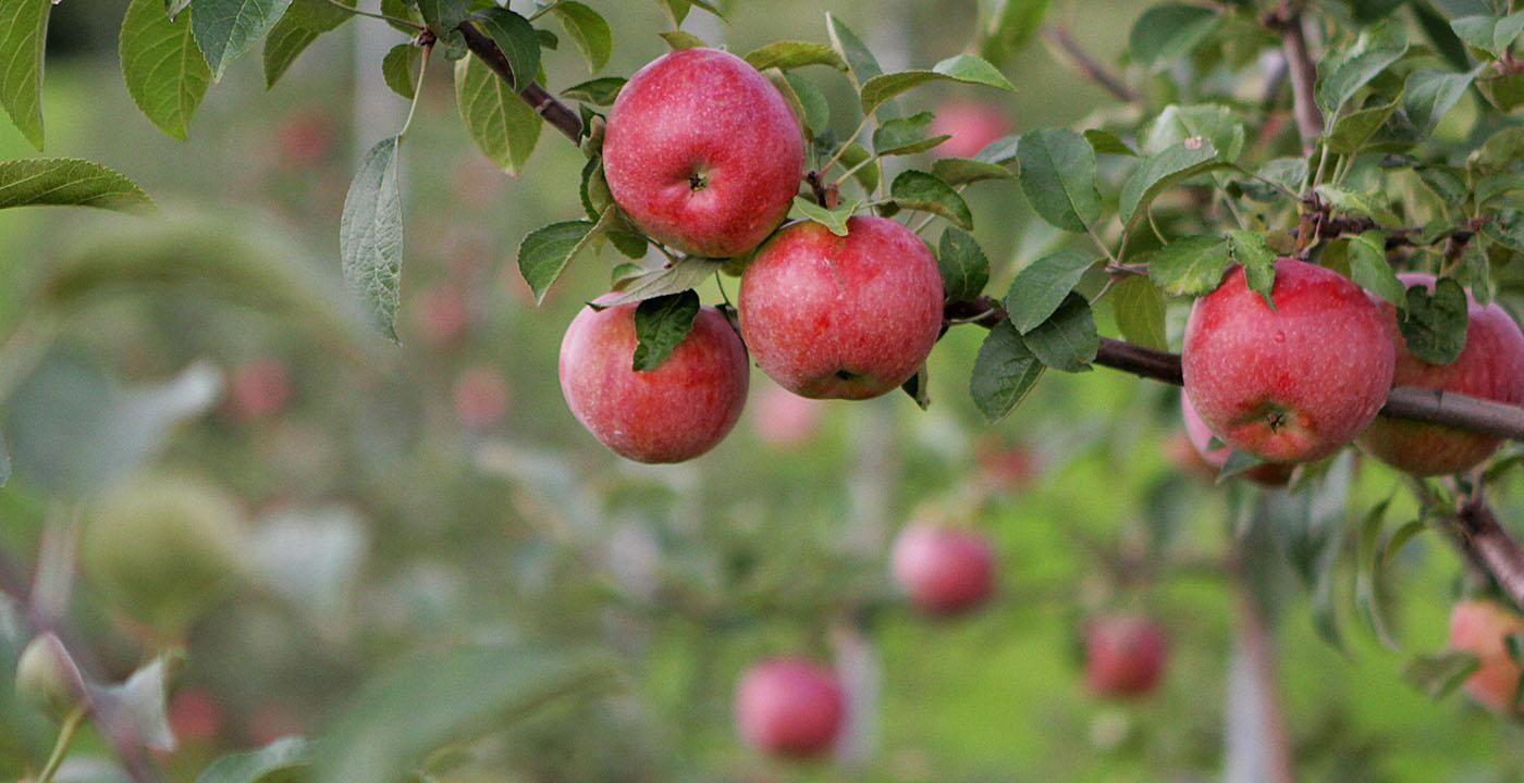on the scene: apple picking