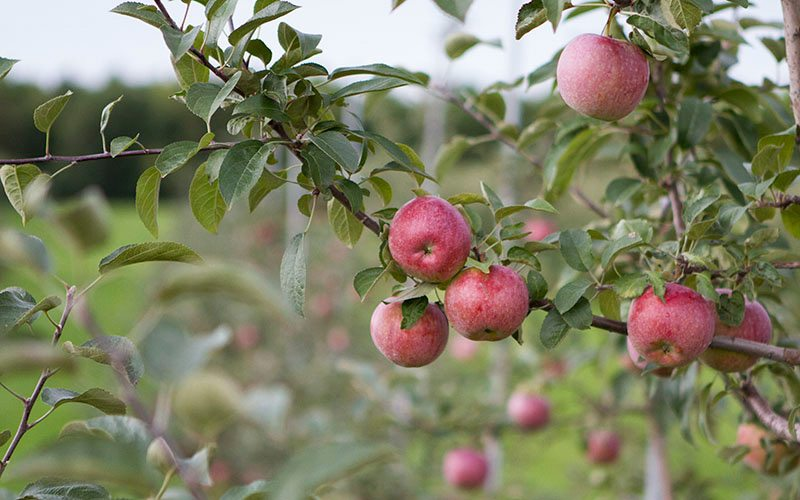 On the scene apple picking
