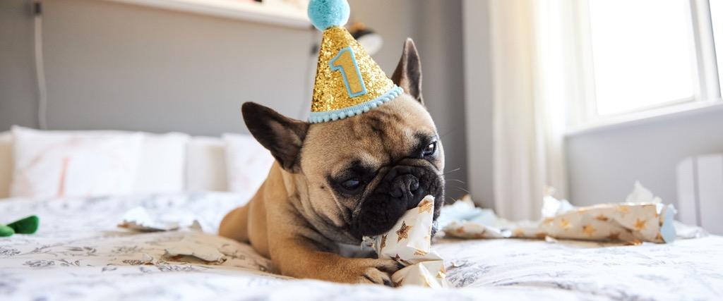 Pug Party Hat